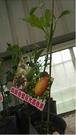 花花世界_季節水果--香蜜巨大百香果(嫁接)--**味美多汁**/4吋盆 / 高20-60公分/ TC