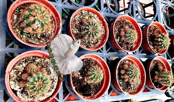 [世界之圖仙人掌] 活體多肉植物 仙人掌多肉盆栽 3吋盆