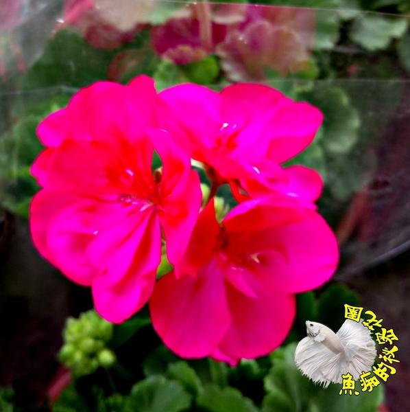 [ 桃紅色 開花天竺葵 玫瑰天竺葵] 5-6吋 室外植物活體盆栽 觀賞花卉盆栽