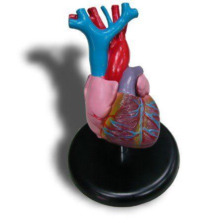 JP-238B成人心臟模型(實用的人體模型/教學模型/解剖模型/護理模型)