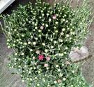 [紫紅色菊花雛菊盆栽] 5吋盆 活體室外植物 開花植物盆栽