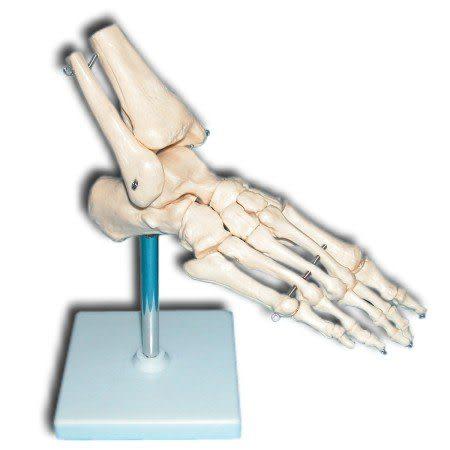 JP-229成人腳骨模型(實用的人體模型/人骨模型/骨骼模型/關節模型/教學模型/腳部模型/腳踝模型)