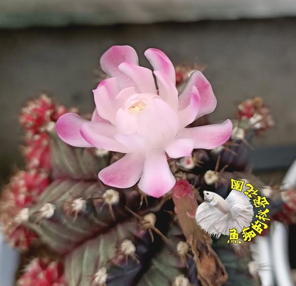 [ 粉白花 緋牡丹仙人掌] 3.5吋盆  活體嫁接仙人掌盆栽  送禮小品盆栽 半日照佳 ~季節限定~