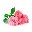 Visakha - 摩洛哥玫瑰 Rose...