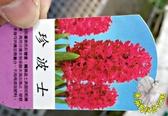 [珍波士] 超香 桃紅色風信子  2.5寸盆 室內濃香花卉 多年生球根類觀賞花卉盆栽
