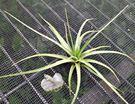 [亮葉貝克利] 活體空氣鳳梨 空鳳植栽 需通風良好