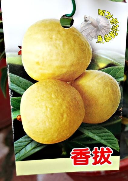 [香拔辣盆栽 迷你番石榴]  5吋盆 多年生果樹盆栽 室外植物