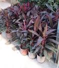 綠籬植物 ** 紅竹(朱蕉) ** 6吋盆/ 高25-35公分/富變化的線紋【花花世界玫瑰園】R