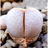 CARMO幻玉種子(10顆裝)多肉植物生石花種子【A14】