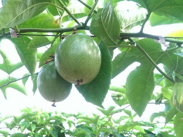 [南投]採果體驗-熱情果Hot fruit(大坪頂百香果園)〔8月-隔年1月百香果〕