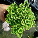 [綠地珊瑚蕨] 蕨類盆栽 室內植物3吋盆栽 可以淨化空氣