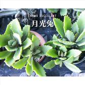 ⓒ月光兔 兔耳3吋 多肉成株【Z0075】