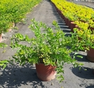 花花世界_綠籬植物-- 黃金金露花--綠化植物 /5-6吋盆/高約20-30公分/TS