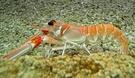 【禧福水產】獨家南非生食角蝦/海螯蝦鐵蝦 6/10◇$特價4000元/2kg/盒挑戰最低價 規劃法式義式料理