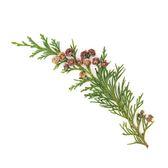 Visakha - 松 Pine  單方精油 (100ml)