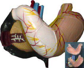 JP-255A成人胃.胰.十二指腸模型(實用的人體模型/教學模型/解剖模型/器官模型/內臟模型)