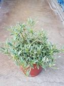 圍籬植物 ** 斑葉玉堂春【梔子花】 ** 5吋盆 / 高約10cm【花花世界玫瑰園】R
