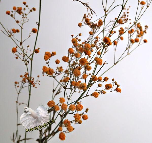 [橘色] 乾燥花滿天星花束 真花乾燥製成 ☆插花.天花板裝飾, 居家.店面.櫥窗擺飾.園藝☆