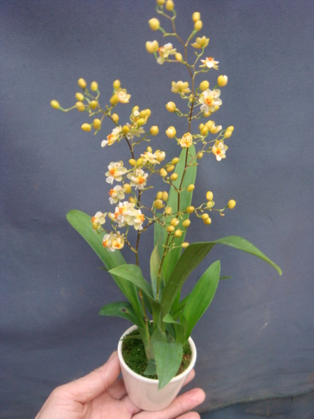 Mini Star 千姿蘭園Chian-Tzy Orchids 迷你蘭花 文心蘭 Oncidium -千姿白力士