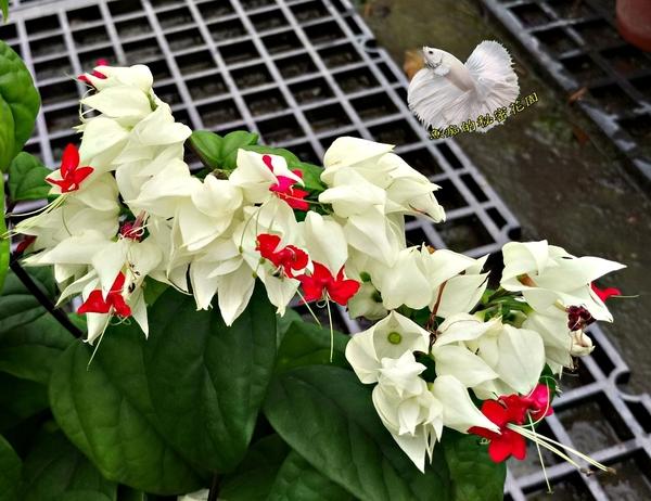 [白花紅蕊 龍吐珠盆栽] 室外植物 5-6吋活體盆栽 送禮小品盆栽