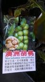 ** 澳洲胡桃 (夏威夷火山豆) (原生苗) ** 4.5吋盆/高30-40cm OvO