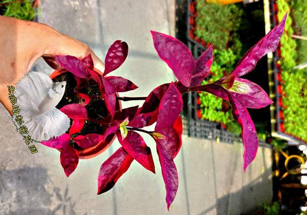 活體 [ 紫娟 錦葉紅龍草 ] 室內植物 3吋盆栽 送禮小品盆栽
