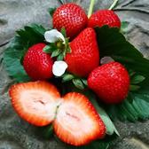 【綠安生活】嚴選大湖1號級香水草莓4盒(300g/12-15粒/盒)-迷人的風味