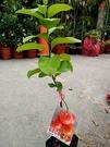 花花世界_季節水果苗--仙女紅柿(新品種)--/4吋盆/高20~30CM/TC