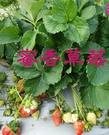[蜜香草莓苗] 2寸盆 新品種草莓苗 ~...