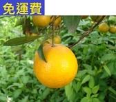 1月搶手的 小阿婆甜柑★花蓮無毒農業 8斤 小帝王柑