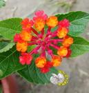 [桃紅色或橘桃色 馬櫻丹] 5-6吋 多年生室外植物活體盆栽 觀賞花卉盆栽 越熱越會開花