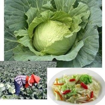 愛心助農 國產高麗菜