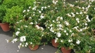 花花世界_圍籬植--毛茉莉,素馨--微帶香味/6吋苗/高約20~40cm/Tm