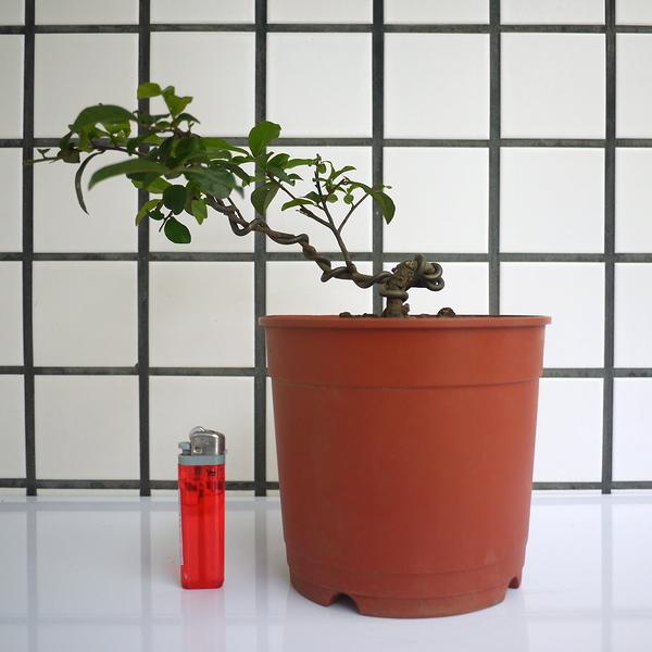 明陽盆栽園*【日本老爺柿(都紅)】樹高11*左右26*幹徑1cm 日本進口