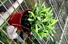 活體 羅漢松小盆栽 室內植物3吋盆栽...