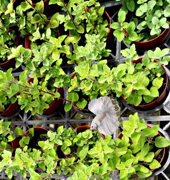 香草植物 奧勒岡 比薩草盆栽 3吋盆活體盆栽, 可食用可泡茶