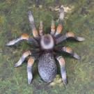 《MOJO FUN動物模型》動物星球頻道獨家授權 -紅膝蜘蛛