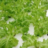 預購 【安心蔬食】水耕蔬菜-綠皺葉萵苣(150g)