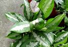 室內植物 巴黎美人觀葉盆栽 開幕送禮盆栽  5-6吋紅盆 活體盆栽