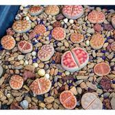 ⓒ花紋玉混合種子(10顆裝) 生石花種子【A26】
