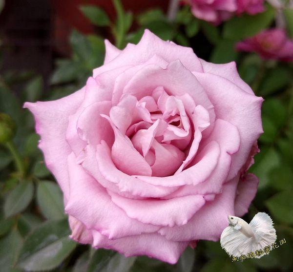 紫色 大玫瑰花盆栽 8吋盆活體盆栽 多年生 四季開花