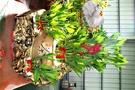 茶道造型開運竹水耕盆栽 活體萬年青盆栽 室內辦公室盆栽 開幕喬遷開店賀禮 送禮首選
