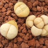 CARMO留蝶玉C316 南非生石花種子(10顆)【A15】