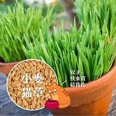 CARMO貓草種子(小麥/黑麥) 麥草園藝種子 夏日 新手【A0UP005】