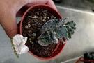 [雀扇 巧克力碎片多肉] 活體多肉植物 3吋盆多肉盆栽