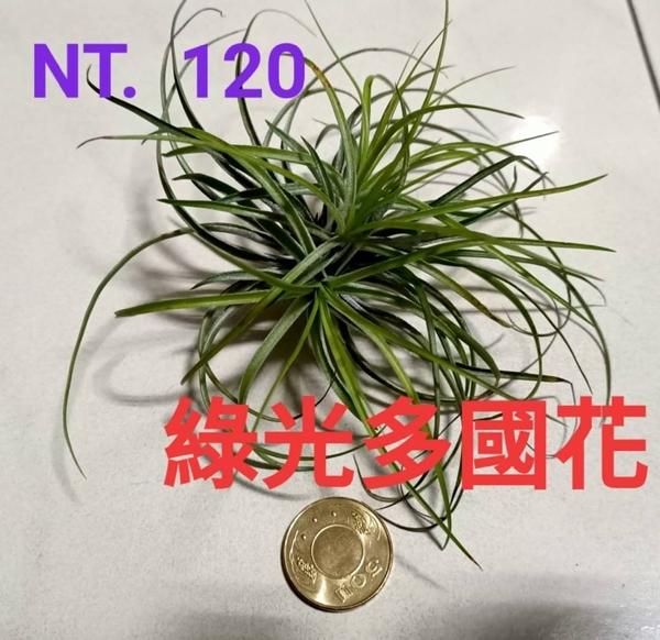 [綠光多國花」 空氣鳳梨 活體空氣鳳梨 空鳳植栽 需通風良好