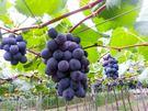 [彰化]採果體驗-奈米休閒農場〔巨峰葡萄...