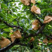 梨子套袋專用袋防鳥防蟲袋水果套袋套葡萄的紙袋子防水包梨袋 極速出貨