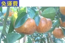 火燒柑 火燒茂谷 1月水果花蓮老農無毒農業 8斤 過年年終春節禮盒