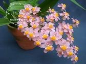 Mini Star 千姿蘭園Chian-Tzy Orchids 有香 文心蘭 Oncidium - 千姿光宗